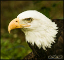 Bald eagle photos 4