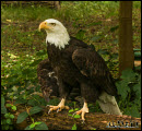 Bald eagle photos 2