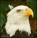 Bald eagle photos 1