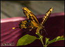 Butterflies photos 6